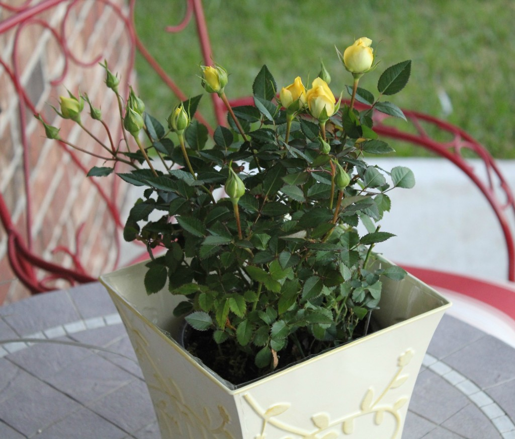 proflowers mini yellow rose bush