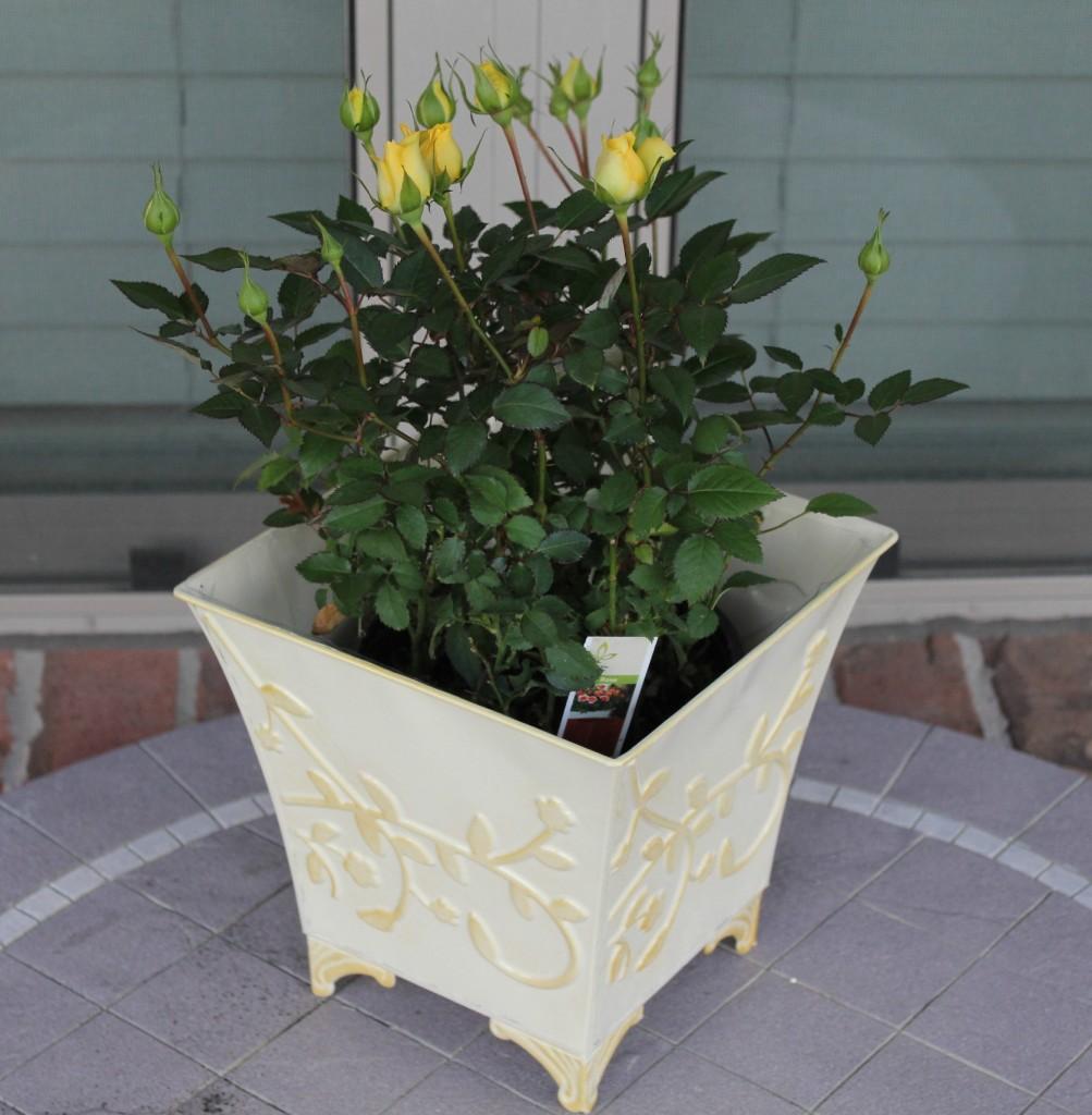 proflowers mini yellow roses