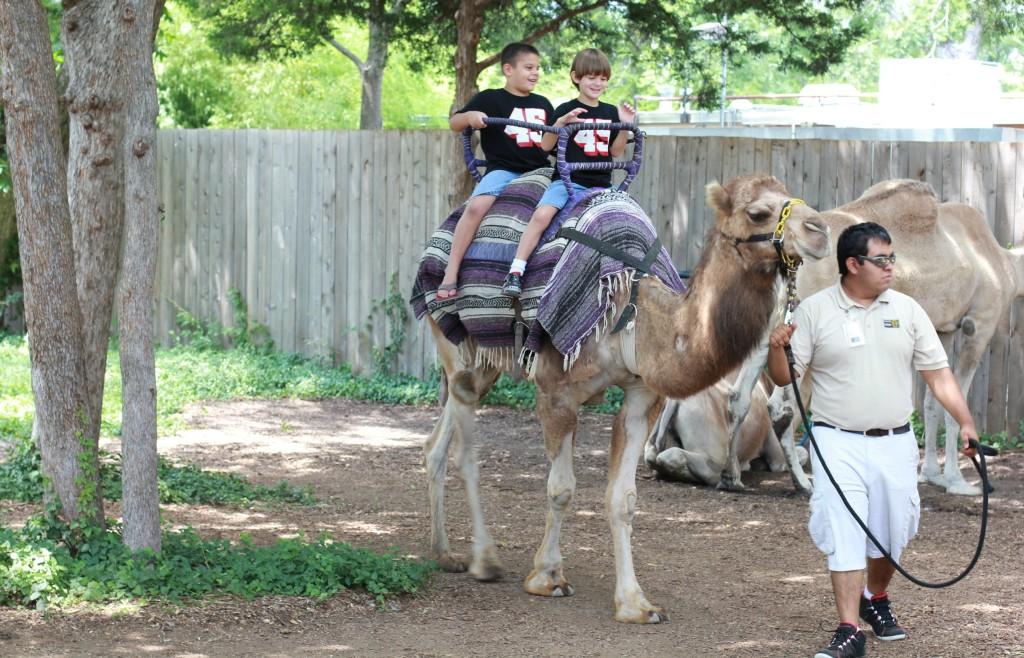dallas zoo camel ride