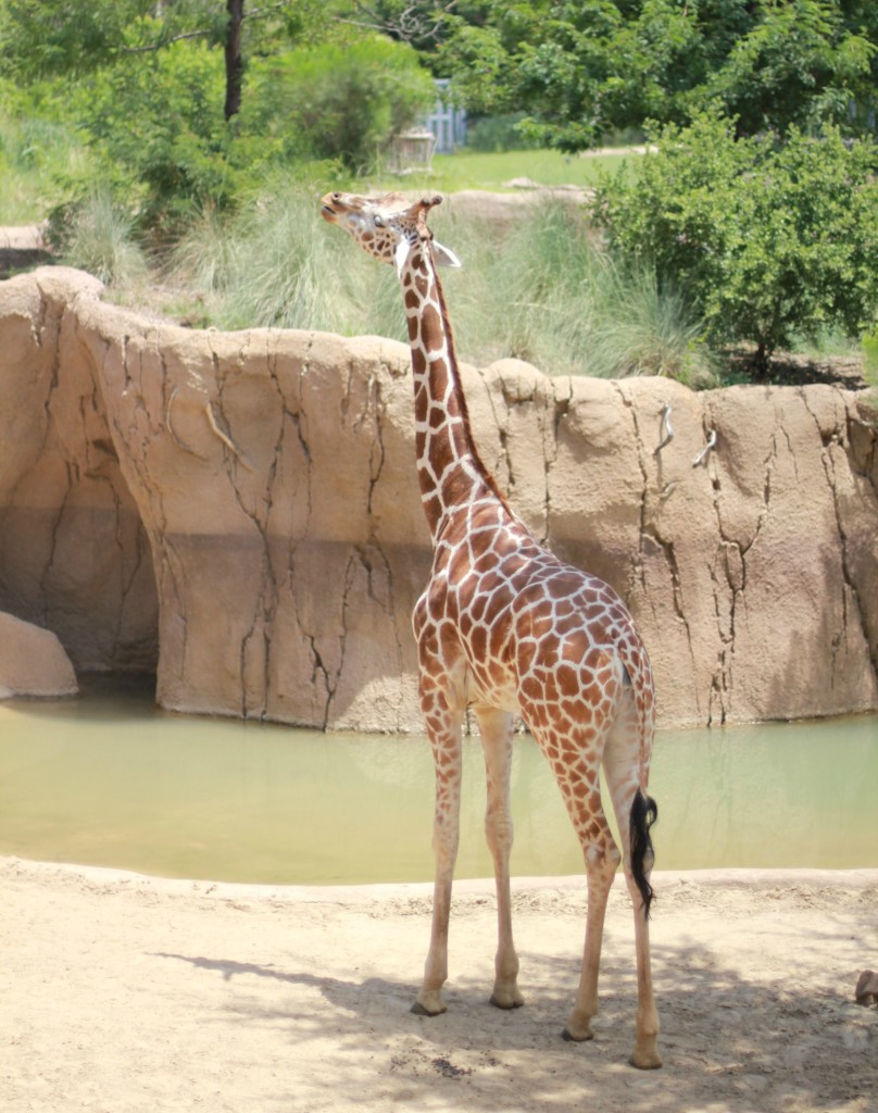 giraffe at dallas zoo