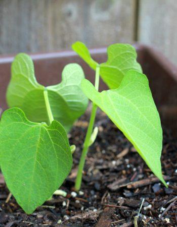 groables bush beans sprouts
