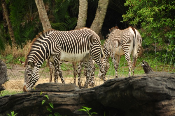 Experience the Wild Africa Trek at Animal Kingdom