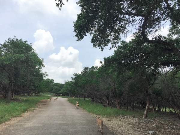 When visiting the greater San Antonio area, make plans to visit Natural Bridge Wildlife Ranch in San Antonio. It's a drive-thru safari that offers interaction with the animals along the trek.